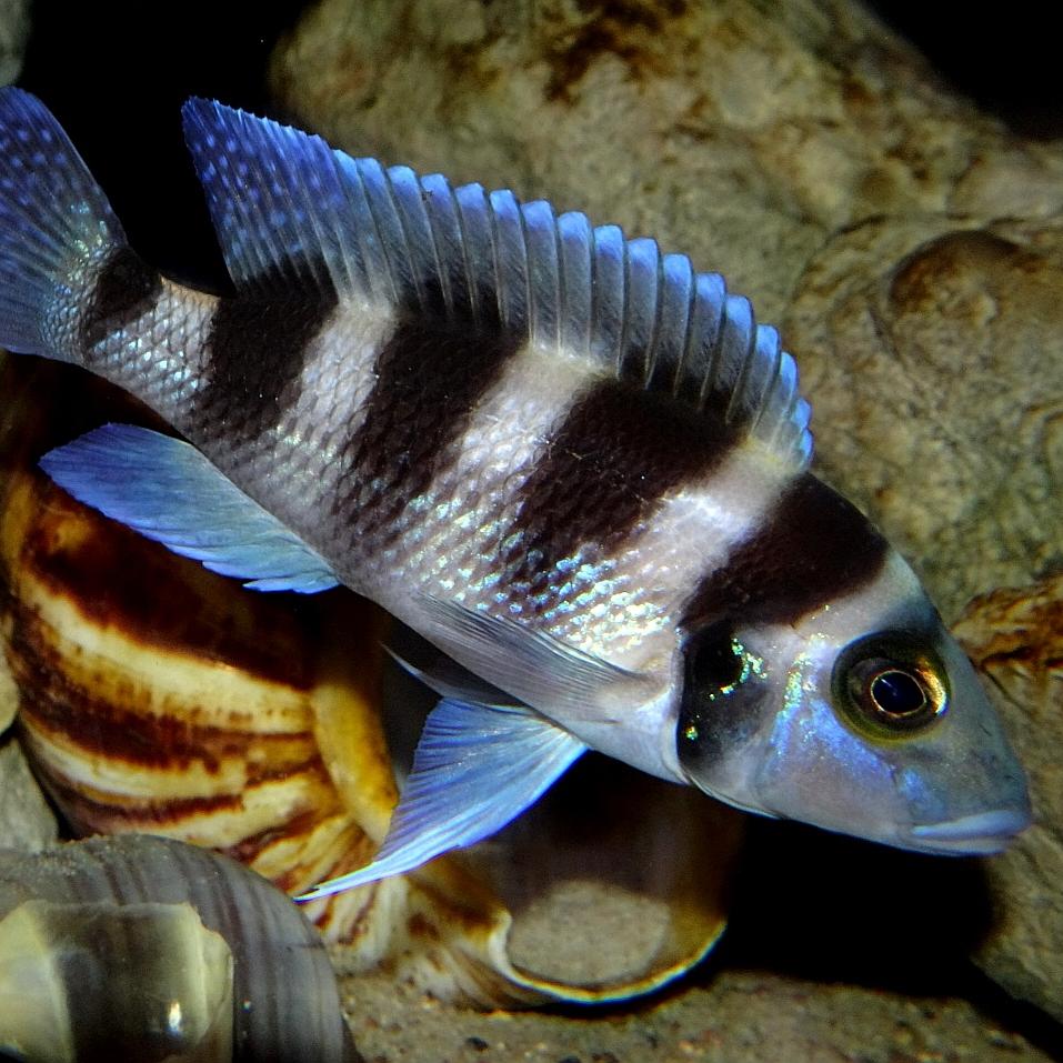Neolamprologus tretocephalus – Foto: Jennifer Rieck