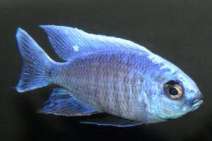 copadichromis-cyaneus-foto-andreas-spreinat