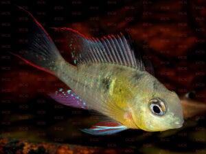 Mikrogeophagus altispinosus - Foto Jennifer Rieck