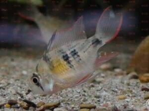 Mikrogeophagus sp. zweifleck Foto Stefan Pierdzig