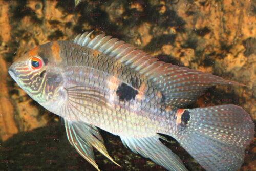 Aequidens pallidus - Foto unbekannt
