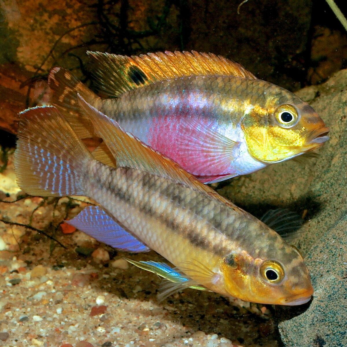 pelvicachromis-silviae-foto-uwe-werner
