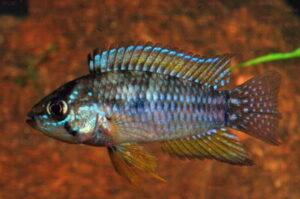 Apistogrammoides pucallpaensis - Foto: Burkhard Schmidt
