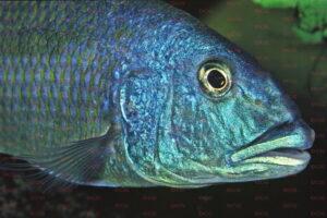 aristochromis-christyi-foto-wolfgang-staeck-dcg-cichlidenverzeichnis-malawisee