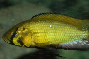 Astatoreochromis allaudi Foto Axel Böhner - IGV Interessengemeinschaft Victoriasee-Cichliden