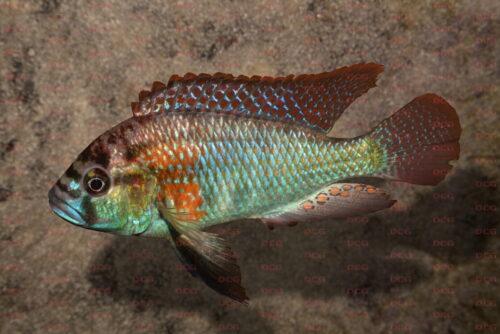 astatotilapia-burtonii-foto-andreas-spreinat