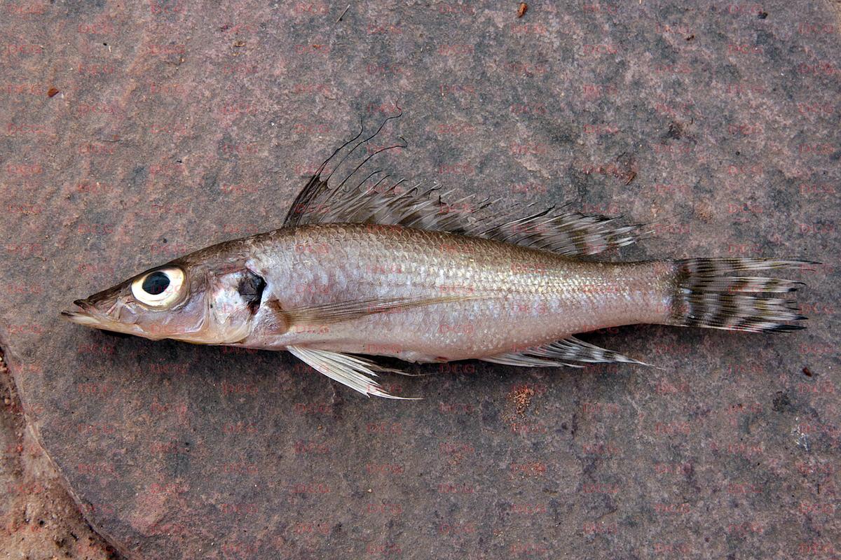 Baileychromis