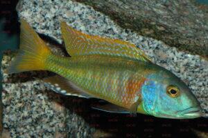 buccochromis-rhoadesi-foto-andreas-spreinat-dcg-cichlidenverzeichnis-malawisee