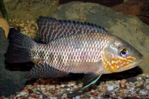 Chaetobranchus flavescens - Foto: Uwe Werner