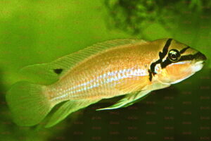 chalinochromis brichardi foto wolfgang staeck-dcg-cichlidenverzeichnis-tanganjikasee