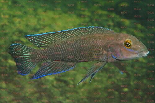 Chalinochromis cyanophleps - Foto Wolfgang Staeck