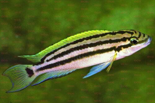 Chalinochromis popelini - Foto Wolfgang Staeck