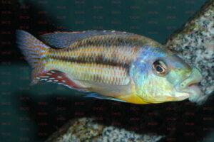 cheilochromis-euchilius-foto-andreas-spreinat-dcg-cichlidenverzeichnis-malawisee