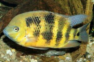 Cincelichthys bocourti - Foto: Ernst Sosna