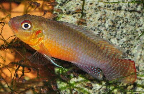 Congochromis sabinae - Foto Erwin Schraml