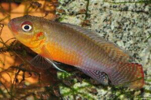 Congochromis sabinae - Foto: Erwin Schraml