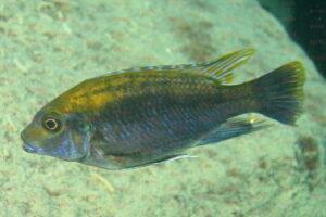 Cyathochromis bliquidens - Foto: Andreas Spreinat