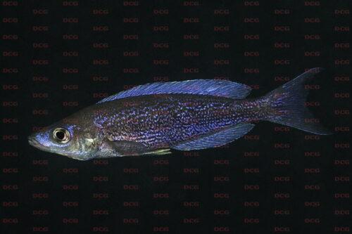 Cyprichromis pavo muloba bay - Foto Magnus u. Mikael Karlsson