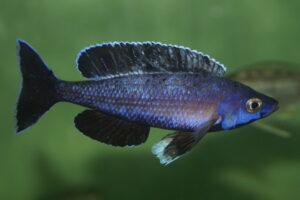 Cyprichromis leptosoma - Foto: Manfred Edinger