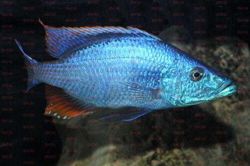Dimidiochromis compressiceps - Foto Andreas Spreinat
