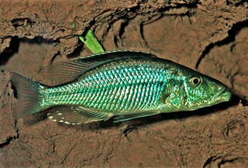 Dimidiochromis compressiceps - Foto Wolfgang Staeck