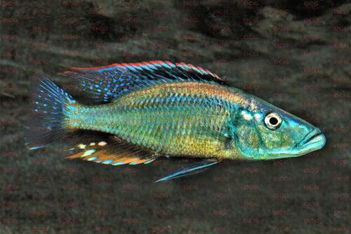 Dimidiochromis dimidiatus - Foto Wolfgang Staeck