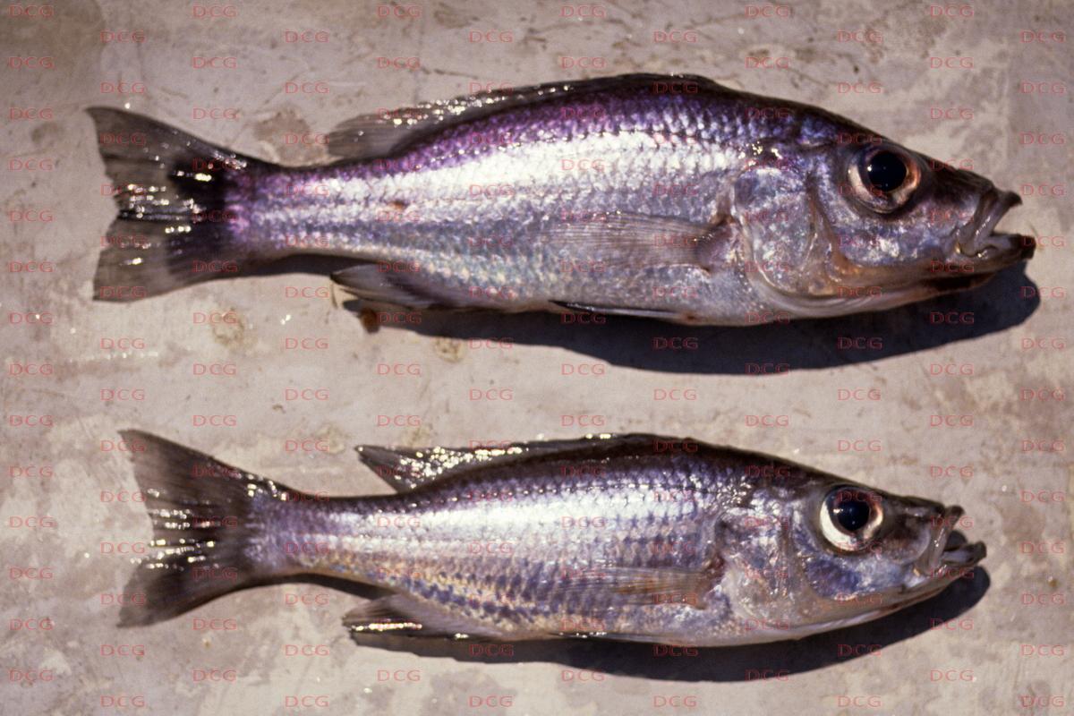 Diplotaxodon