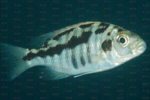 docimodus-evelynae-foto-andreas-spreinat-dcg-cichlidenverzeichnis-malawisee