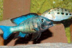 Fossorochromis rostratus - Foto: Tino Scholl