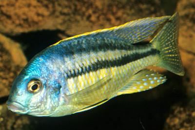 Chilotilapia