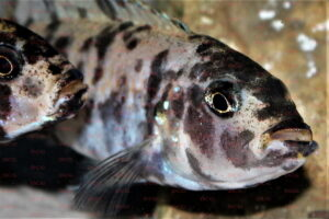 Genyochromis mento - Foto: Michel Raab