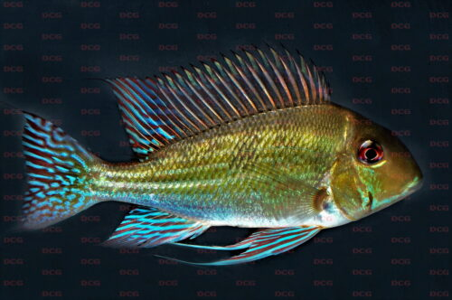 Geophagus dicrozoster - Foto Wolfgang Staeck