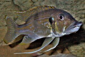 gnathochromis permaxillaris foto wolfgang staeck-dcg-cichlidenverzeichnis-tanganjikasee