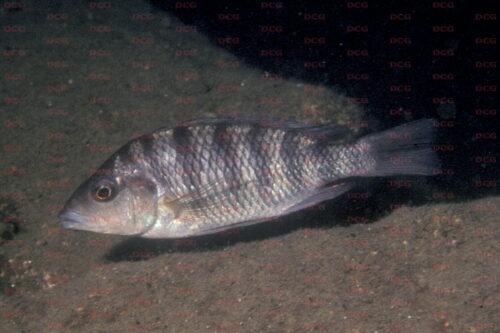 Gnathochromis pfefferi - Foto Heinz Büscher