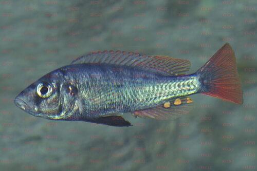 Haplochromis argens - Foto Erwin Schraml