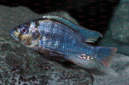 Haplochromis commutabilis - Foto Erwin Schraml