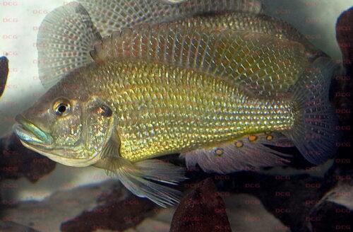 Haplochromis desfontainesi - Foto Erwin Schraml