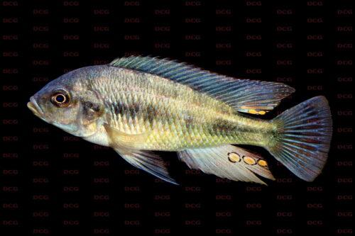 Haplochromis fischeri - Foto Lothar Seegers