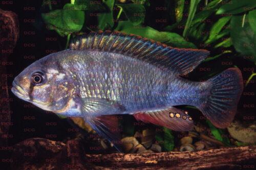 Haplochromis gigas Makobe Isl - Foto Lothar Seegers
