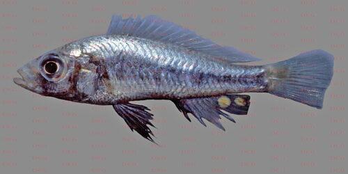Haplochromis goldschmidti - Foto Erwin Schraml