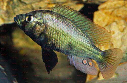 Haplochromis ismailia - Foto Erwin Schraml