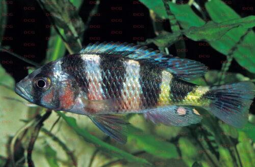 Haplochromis latifasciatus - Foto Erwin Schraml