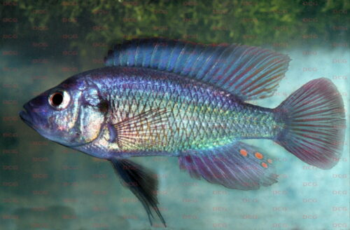 Haplochromis leucostigma - Foto Erwin Schraml