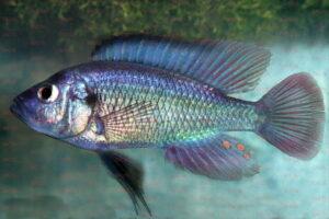 Haplochromis leucostigma - Foto: Erwin Schraml