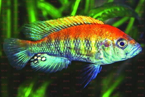Haplochromis nyerere - Foto Wolfgang Staeck