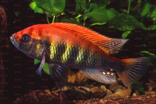 Haplochromis nyererei Makobe Isl. - Foto Lothar Seegers