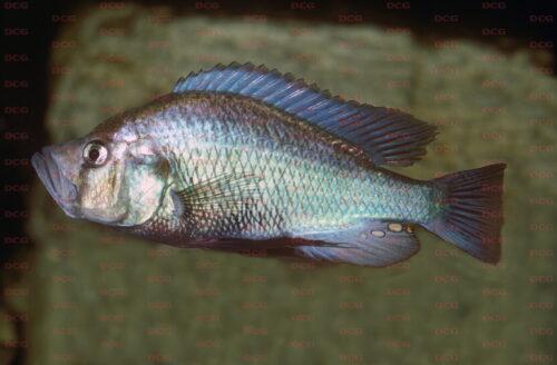 Haplochromis orthostoma - Foto Erwin Schraml