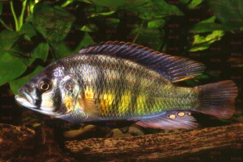 Haplochromis sauvagei Nyegezi Rocks - Foto Lothar Seegers