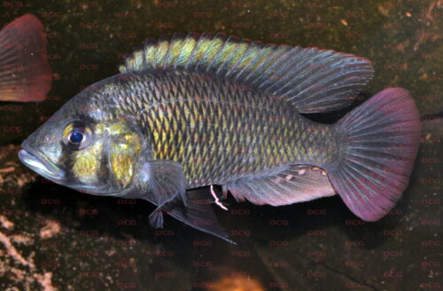 Haplochromis sp. Burullus - Foto Erwin Schraml