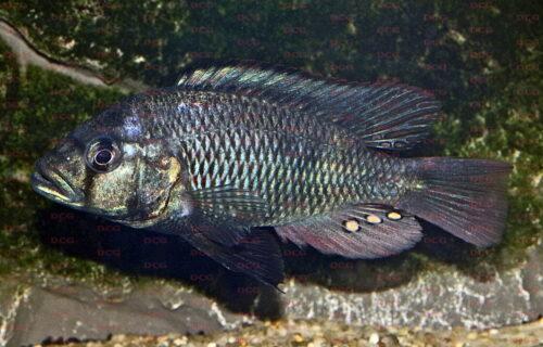 Haplochromis sp. Maryut - Foto Erwin Schraml